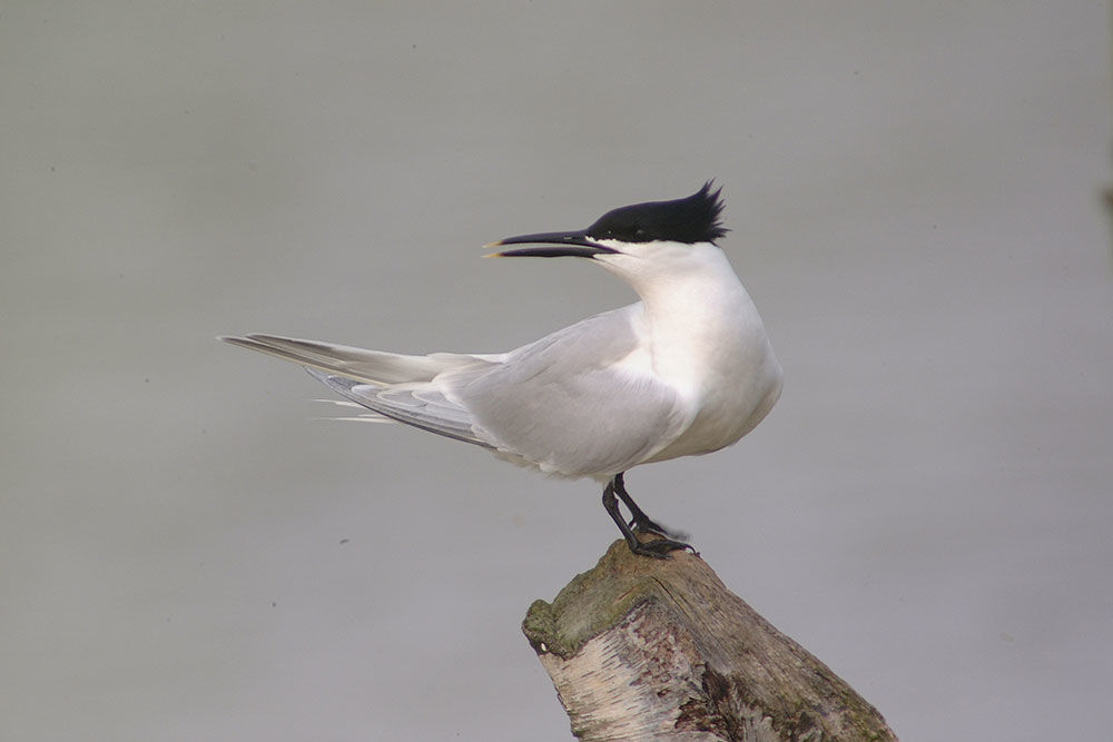 Photo of a Sandwich tern on a tree
