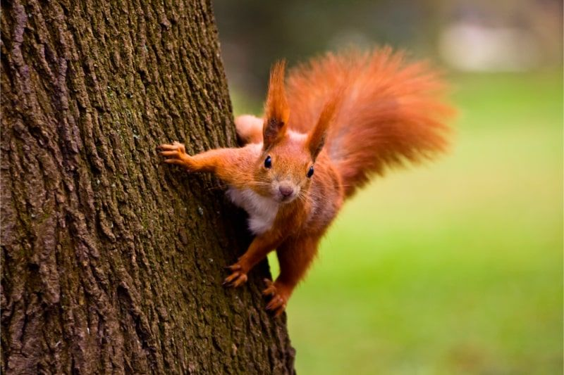 Photo of a red squirel